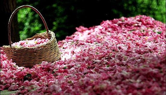 خشک کردن گل محمدی به روش سنتی